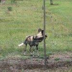 Wildlife - Hyena