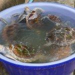 เต่าถูกย้ายมาไว้ในอ่าง เพราะมาช่วงล้างบ่อพอดี