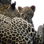 The circle of life - your own big cat diary