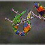 Rainbow lorikeets in Werribee, Australia