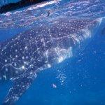 whale sharts at Oslob