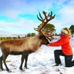 Feeding one of the larger reindeer