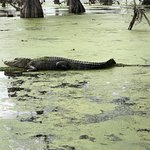 Photo of Champagne's Cajun Swamp Tours