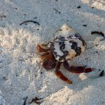 Hermit crabs run all over camp.