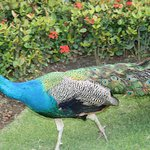 One of the peacocks that roamed the resort