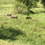 Warthogs come to the swamp outside the veranda to wallow in the heat of the afternoon.