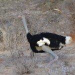 Somali ostrich, Samburu special