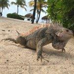 Many iguanas!