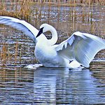 Trumpeter Swan on our pond