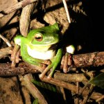 White-lipped Green Tree Frog spotted at night. Dan is a master with his spotlight!