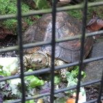 One of the turtles hiding in the green house coming out for lunch.