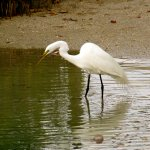 Giant Egret Fishing