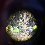 gator and turtles through telescope