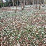Snowdrops at attingham park