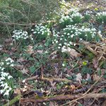 close shot of snowdrops in the woods