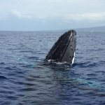 Spy hopping Humpback Whale (note underwater fin)