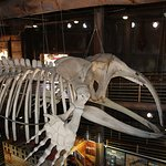 Skeleton of a Southern Right Whale inside the Aquarium