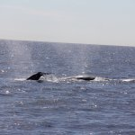 Lots of Whales today, good job Captain!!