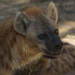 Hyena Photo cred: Colleen Renshaw