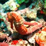 Seahorse in Grenada - thanks Cojack