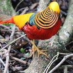 Golden pheasnt