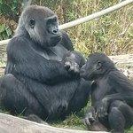 The zoo has 2 groups of gorillas.