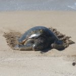 Green Sea turtles rested on the beach daily at Lokelani.