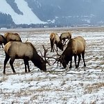 National Elk Refuge Foto
