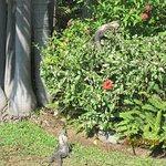 A few iguanas sunning themselves