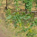 Grapes in test area