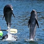 While the participants paddle out in their kayaks the dolphin interact with them
