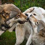 Foto de Lakota Wolf Preserve