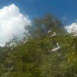 tree was full of pelicans