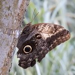 Huge owl butterfly