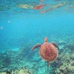 Hastings Reef turtle