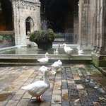 Geese in The Cloister.