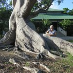 200-year-old sacred ceiba tree