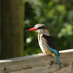 Brown-houded kingfisher