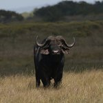 Buffalo expectant ...