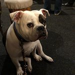 Bronty the bulldog at the Malt Shovel