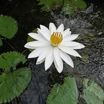 Lotus in villa's pond