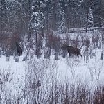 Moose in the back yard.