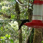 at feeder in Monteverde cloud forest reserve
