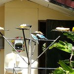 tanagers and Euphonias