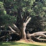 Old tree in Albert Park.
