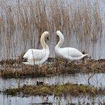 Mute Swans - Island Mere