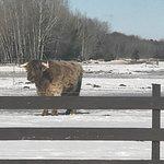 Highland Cattle at Boyne Highlands
