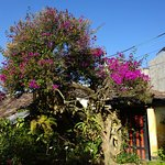 Beautiful Bougainvillea tree in the garden
