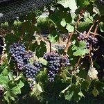 Grapes on the vine at Arlewood Estate