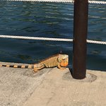 One of the resident iguanas by the Marina pool